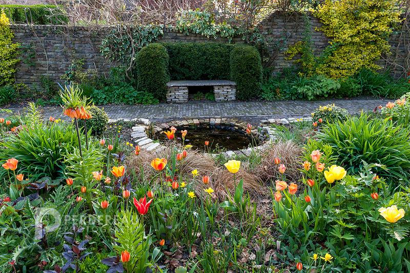 Perdereau Photography | Tulipa \'Orange Emperor\', \'Whittallii ...