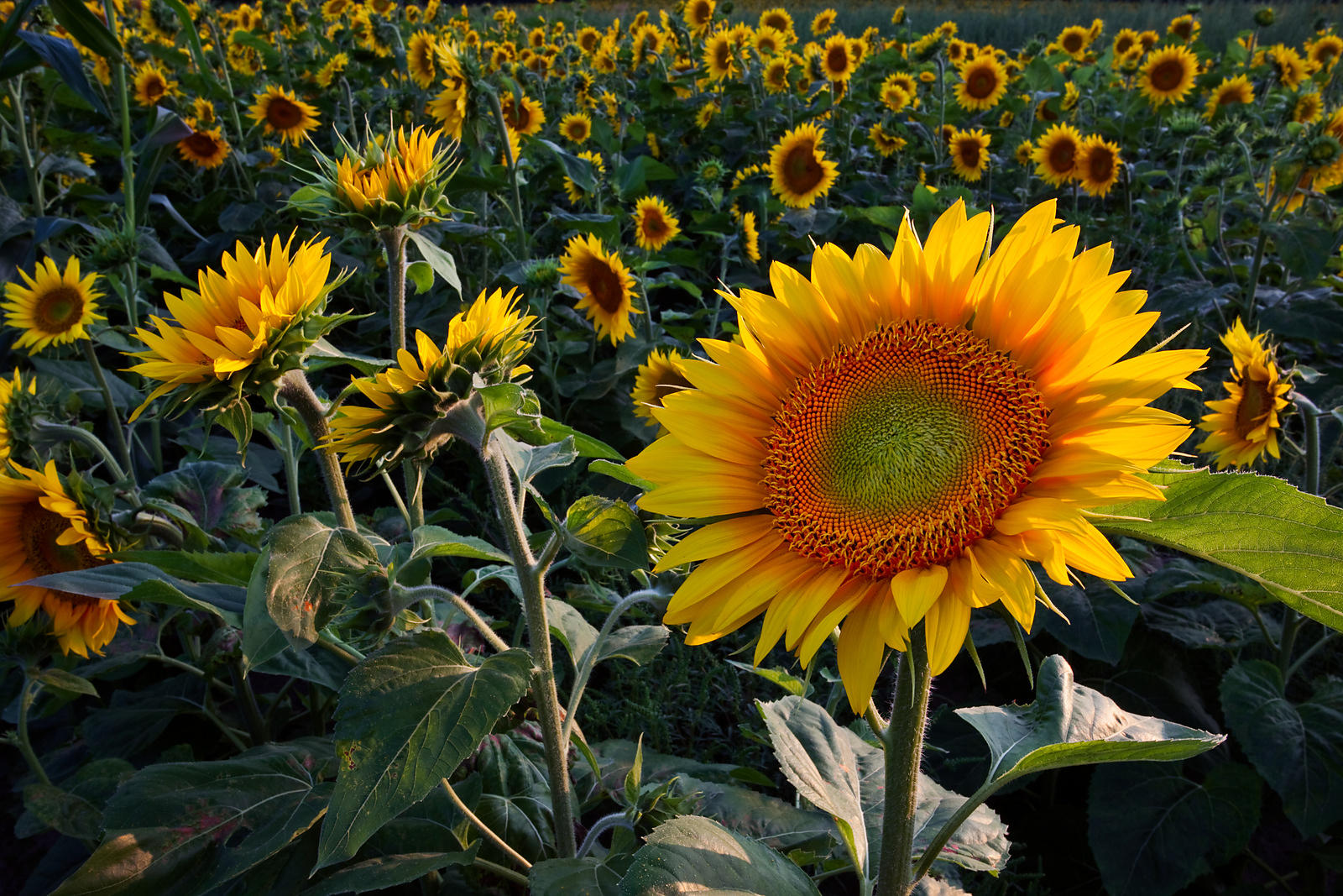 Wisconsin Sunflower Field