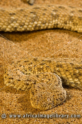 Peringuey's adder (Bitis peringueyi) is endemic to the