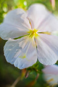 White-stemmed Evening Primrose, Oenothera pallida, Zion National Park, Utah, USA