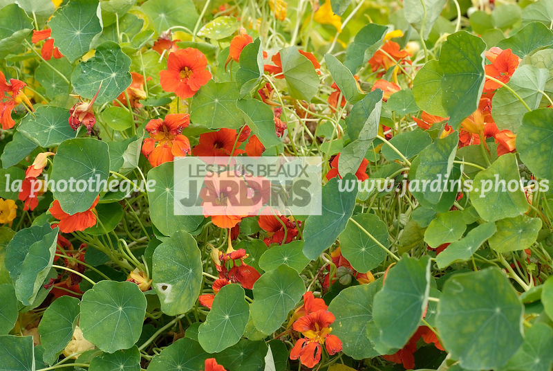 La Phototheque Les Plus Beaux Jardins Tropaeolum Minus Tip Top