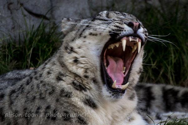 Sacramento Zoo snow leopard
