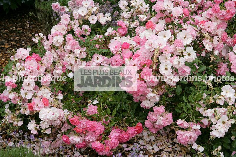 la phototh que les plus beaux jardins rosier maxi vita korfeining s rie rigo obtenteur. Black Bedroom Furniture Sets. Home Design Ideas