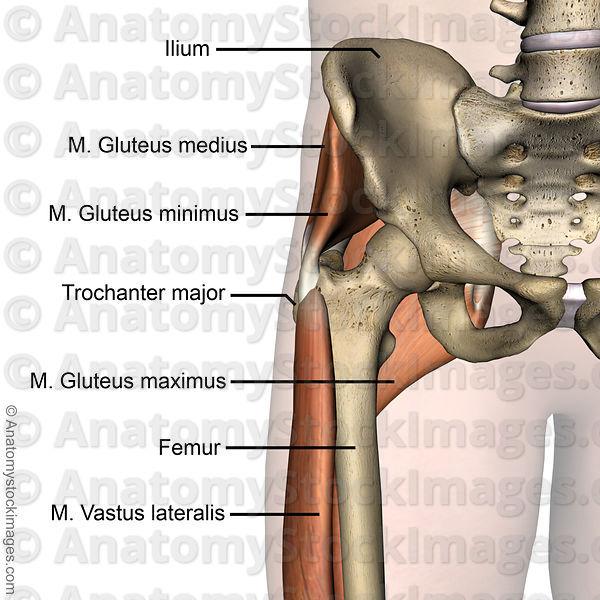 Anatomy Stock Images Hip Gluteus Maximus Medius Minimus Trochanter