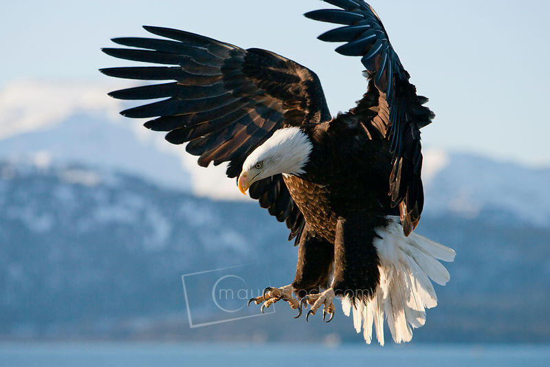Michael mauro photographystock photographyeditorial stock a bald eagle flying over water with mountains in the background altavistaventures Image collections