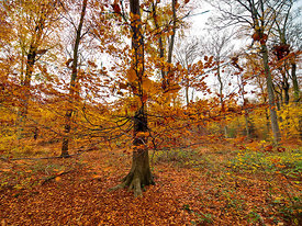 Autumn leaves, Common Wood 