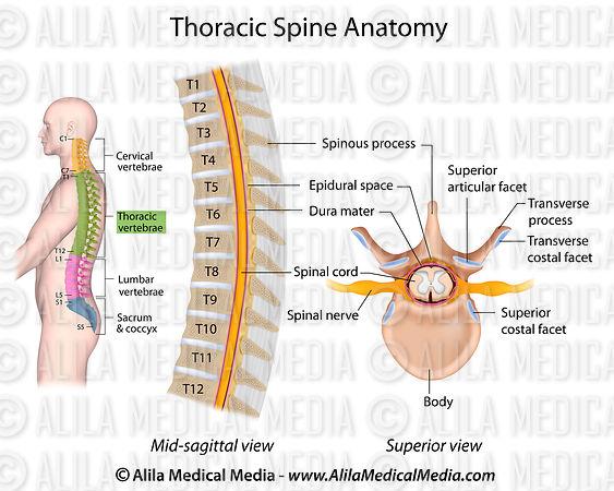 Alila Medical Media   Thoracic Spine Anatomy   Medical illustration