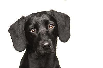 Studio Dog Portrait