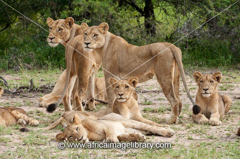 african lion pride. Lion pride (Panthero leo),