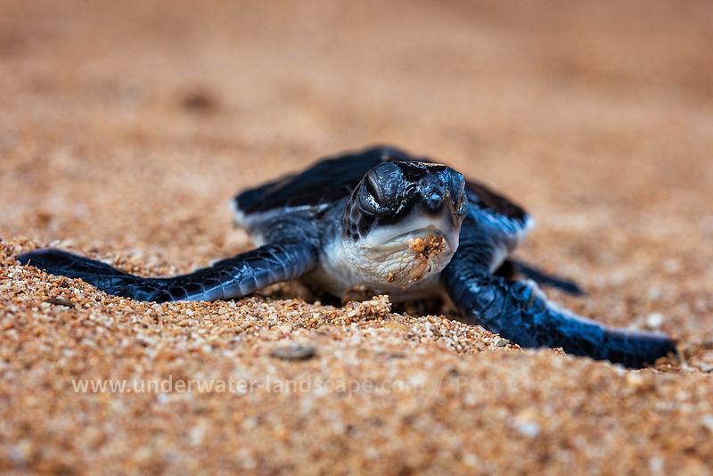 Baby turtle on Nilaveli Beach in Sri Lanka