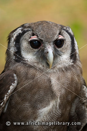 photos and pictures of verreaux s eagle owl bubo lacteus kenya