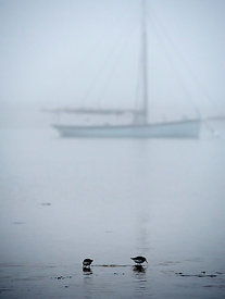Oyster catchers, freezing fog, dusk, West Mersea