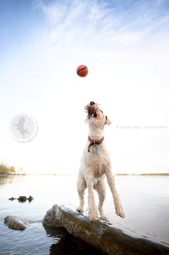 Stock Photo wet wirehaired fox terrier jumping for ball by water ...