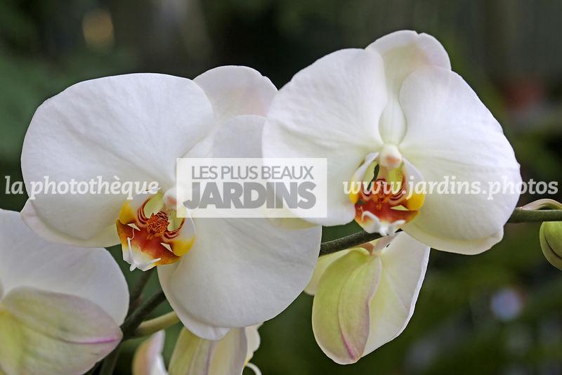 La Phototheque Les Plus Beaux Jardins Phalaenopsis X Hybridus