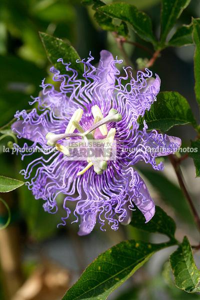 La Phototheque Les Plus Beaux Jardins Passiflora Allegra P