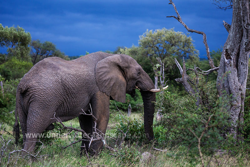 South Africa: pictures of animals in the Kruger National park- african Elephant