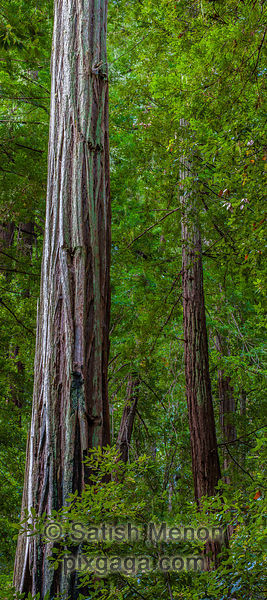 Big Basin Redwoods State Park, Boulder Creek, CA, USA