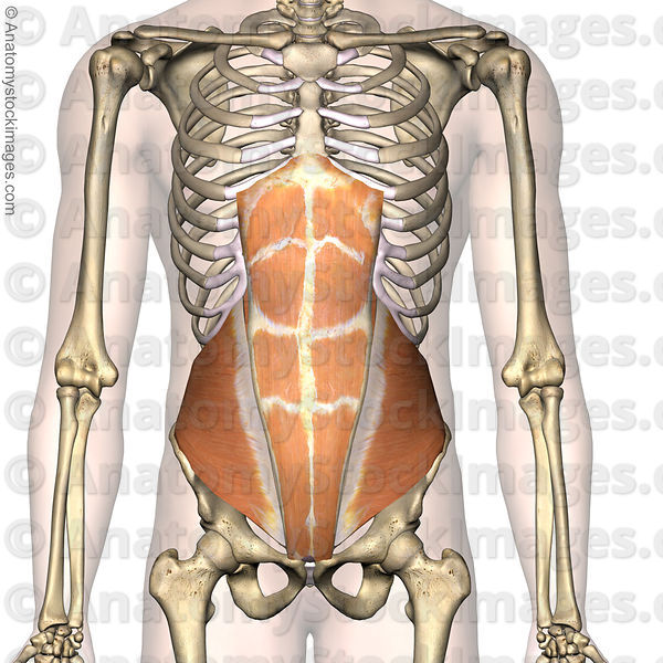 Anatomy stock images torso abdominal muscles musculus obliques anatomy stock images torso abdominal muscles musculus obliques internus internal oblique rectus abdominis abs front skin ccuart Images