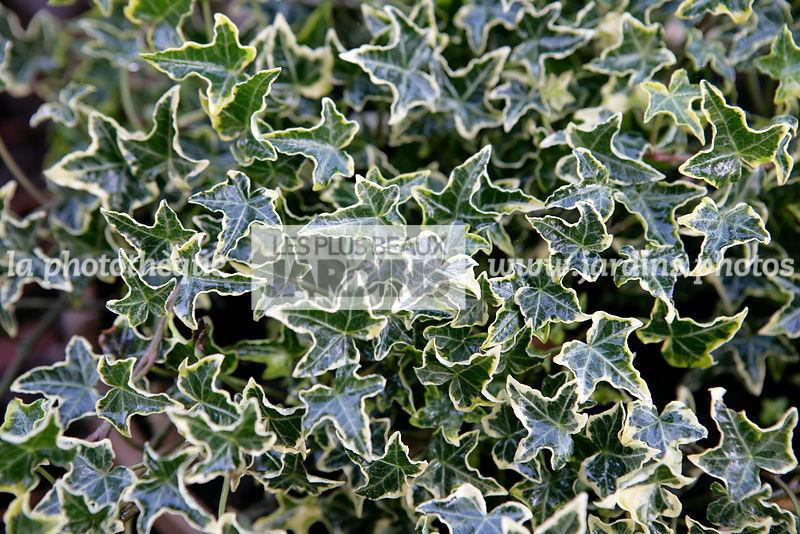 La phototh que les plus beaux jardins hedera helix halebob lierre panach english ivy - Lierre rampant couvre sol ...