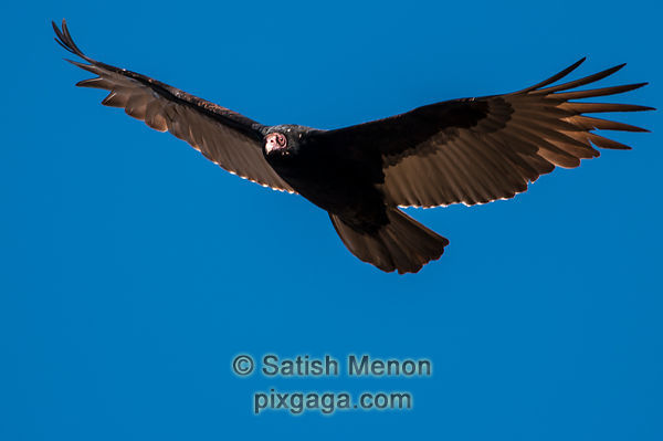 Turkey Vulture, Alviso, CA, USA