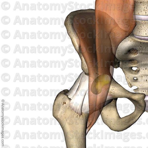 Anatomy Stock Images | hip-iliopsoas-bursa-musculus-psoas-major ...