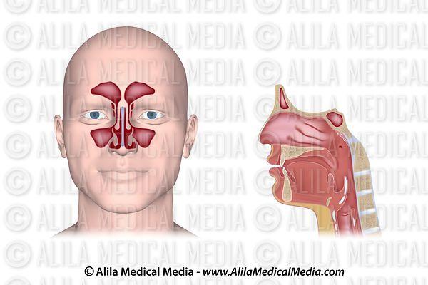 Alila Medical Media | Nose anatomy showing sinus openings into nasal ...