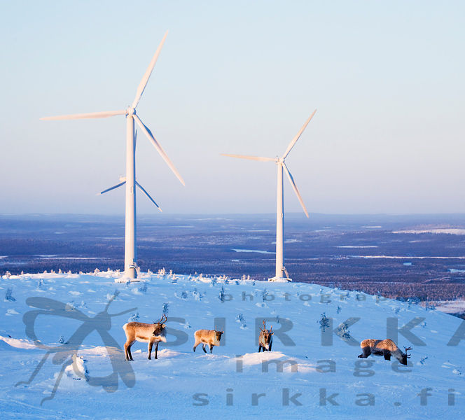 Reindeers looking for food next to windmills