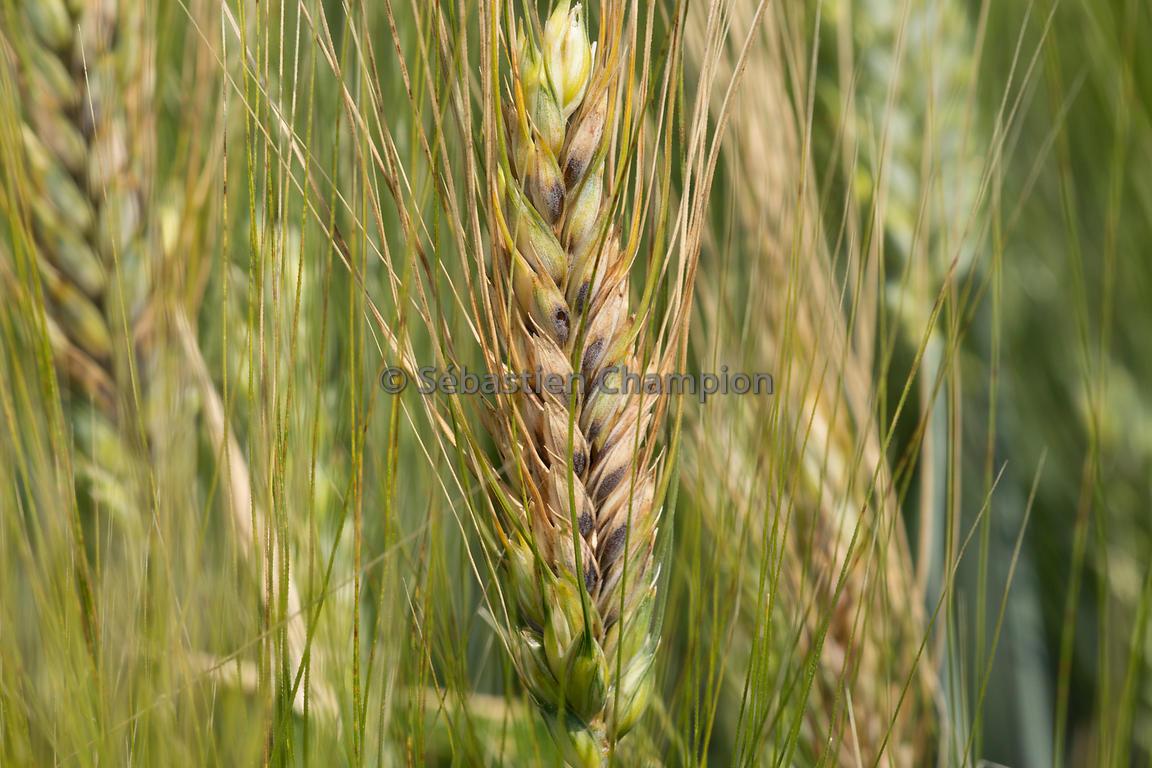 Photographie Fusariose Sur Un Epi De Ble Dur Agricole
