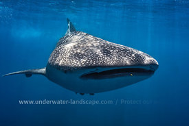whale shark-Underwater photography