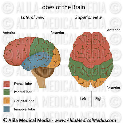 Human brain anatomy 101 (with pictures and video)