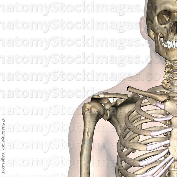Anatomy Stock Images Shoulder Clavicula Fracture Clavicle Broken