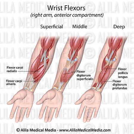 Alila Medical Media | Músculos flexores de la muñeca | Ilustración ...