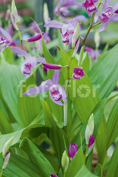 Photo de Bletilla striata - fotoflor - grand choix de belles photos ...