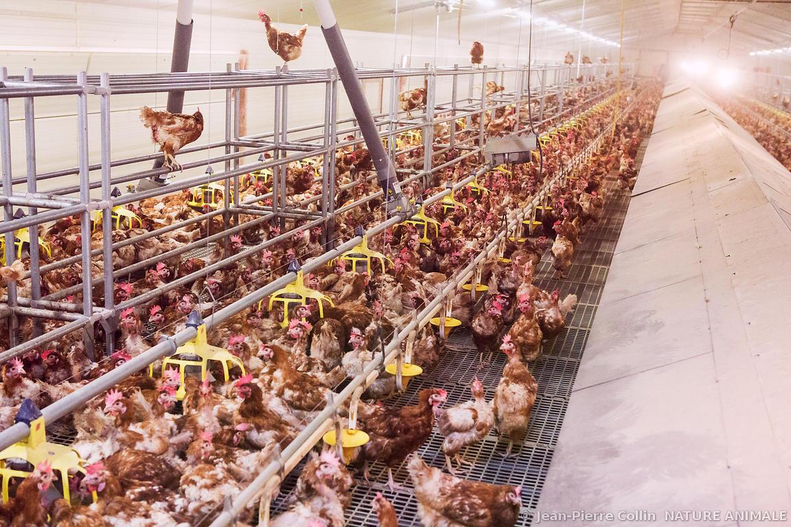 Levage de poules pondeuses plein air for Duree de vie des poules pondeuses