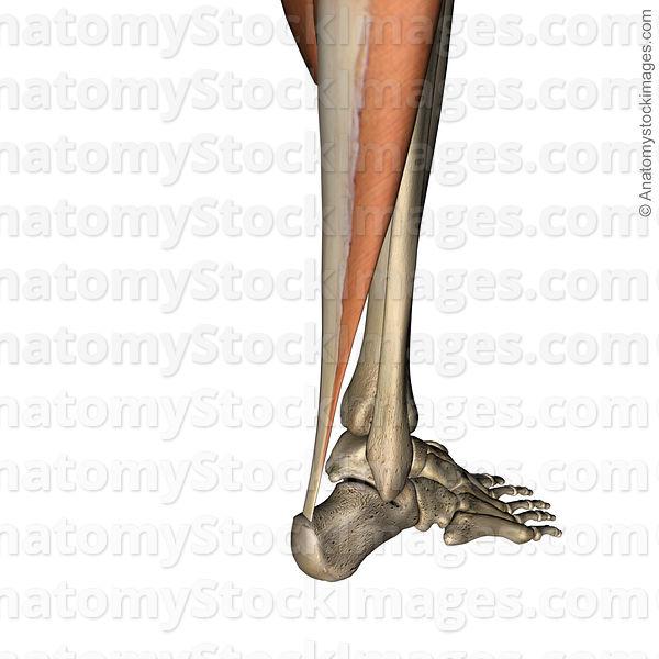 Anatomy Stock Images   lowerleg-achilles-tendon-back