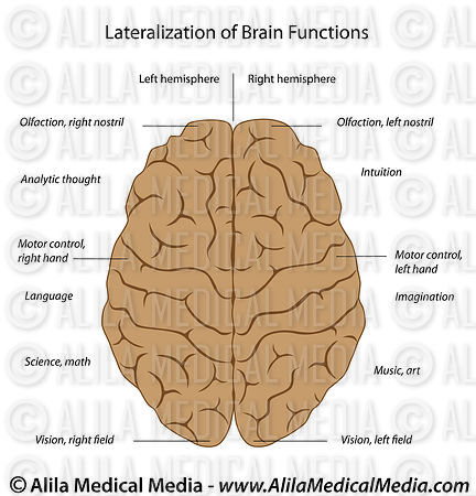 Alila Medical Media Lateralization Of The Brain Labeled Diagram