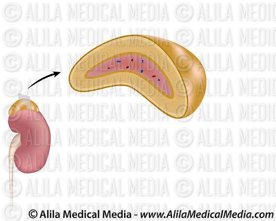 Alila Medical Media The Adrenal Gland Unlabeled Medical