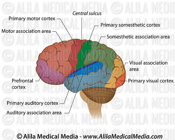 Alila Medical Media Functional Areas Of The Brain Labeled Diagram