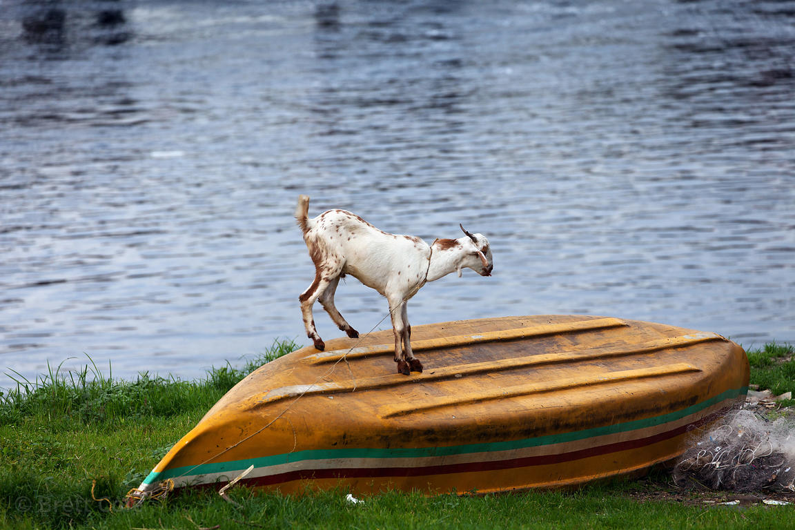brett cole photography a goat stands on a boat on mahim bay