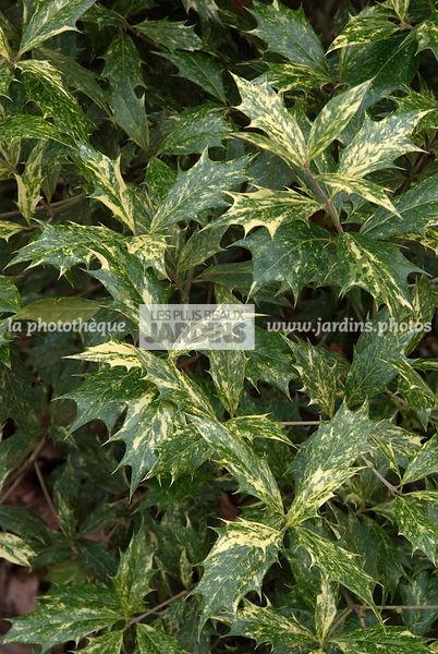 la phototh que les plus beaux jardins osmanthus heterophyllus 39 tricolor 39 arbuste persistant. Black Bedroom Furniture Sets. Home Design Ideas