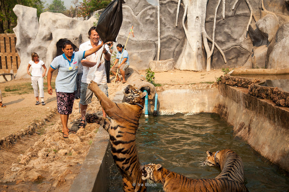 Ira Block Photography | A tourist playing with a tiger at ...