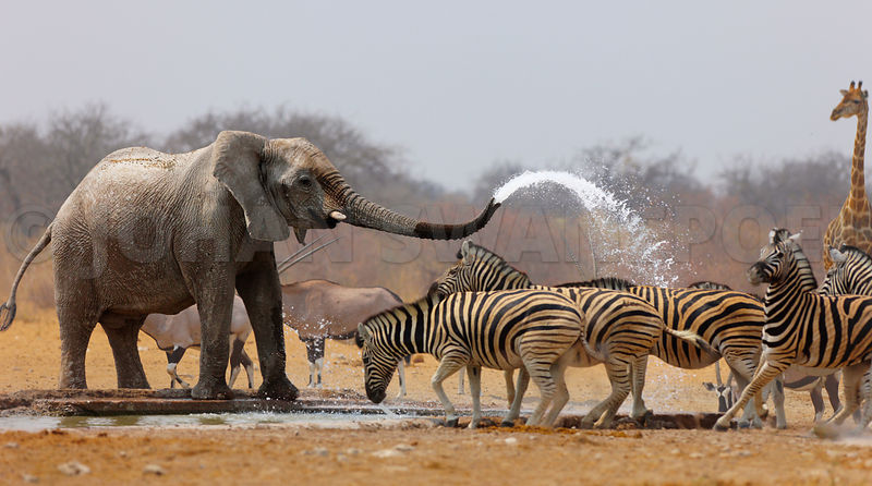 Elephant Spraying Zebras With Water   Animal Humour