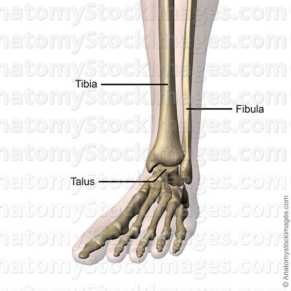 Anatomy Stock Images | ankle-joint-bones-tibia-fibula-talus-skin-names