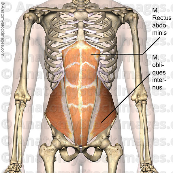 Anatomy Stock Images Torso Abdominal Muscles Musculus Obliques