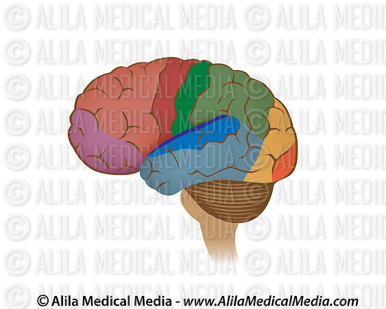 Alila Medical Media | Áreas funcionales del cerebro, diagrama no ...