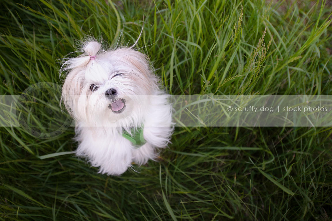 Stock Photo Small White Longhaired Dog Dancing In Grasses Scruffy
