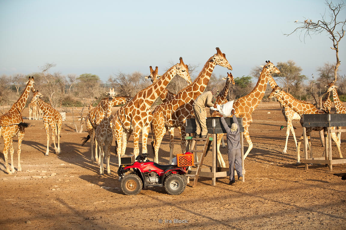 Ira Block Photography Workers At The Sir Bani Yas Island Wildlife Reserve Delivering Feed To