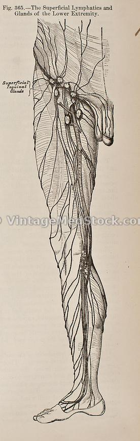 VintageMedStock | Superficial inguinal lymph nodes