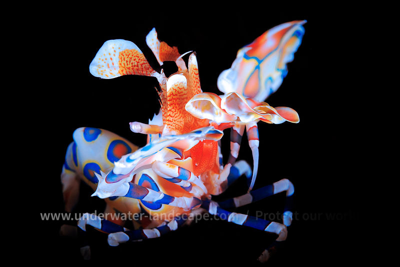 shrimp-Mozambique under water: scuba diving photography-fauna and flora