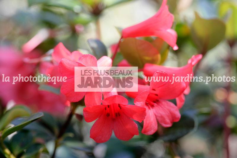 La Phototheque Les Plus Beaux Jardins Rhododendron Littlest